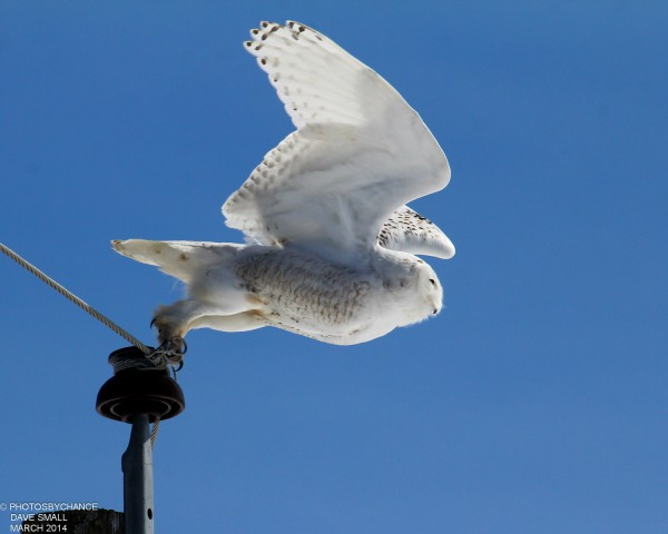 Snowy owl takes flight in Trenton.
