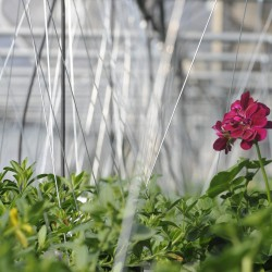 A geranium blossoms at Ledgewood Gardens and Greenhouses in Orrington on Tuesday.