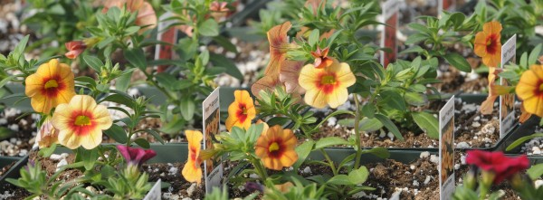 Calibrachoa's bright colors assure visitors on Tuesday to Ledgewood Gardens and Greenhouse in Orrington that spring will arrive.