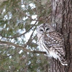 Owl print in fresh snow