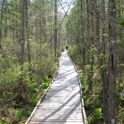 Volunteers race to replace decaying Orono Bog Boardwalk