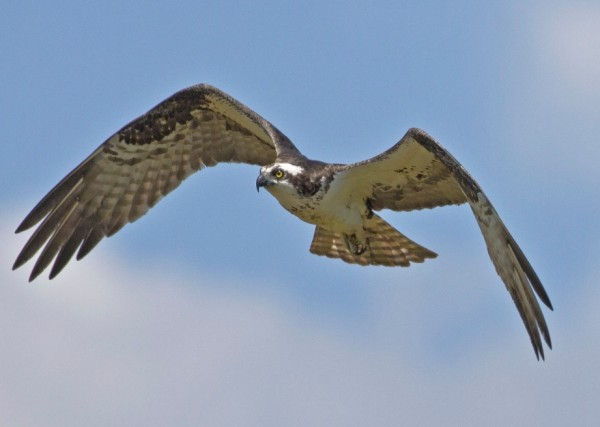 The osprey also occupies a unique niche and suffers little from competition. It is the only raptor that dives into the water for fish.
