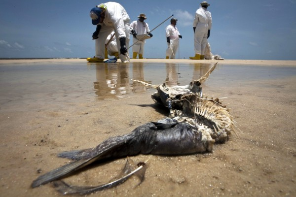 A decomposed fish lies in the water as workers pick up oil balls from the Deepwater Horizon oil spill in Waveland, Mississippi in this July 7, 2010 file photo.