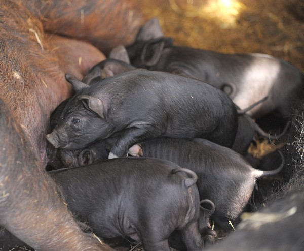 Piglets at the Parker Family Farm in Newport on Thursday.