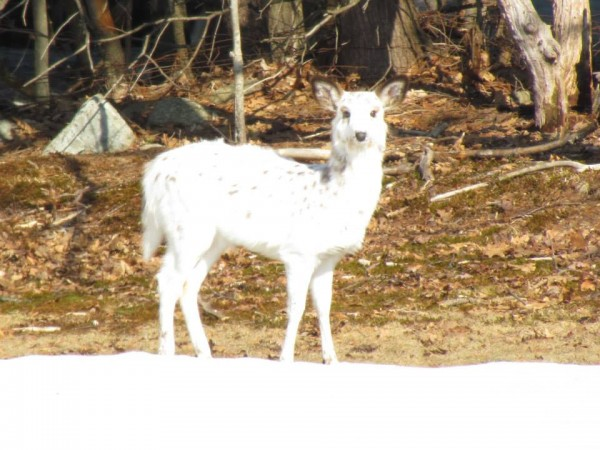 A piebald deer checks out the scene off Burleigh Road in Bangor.