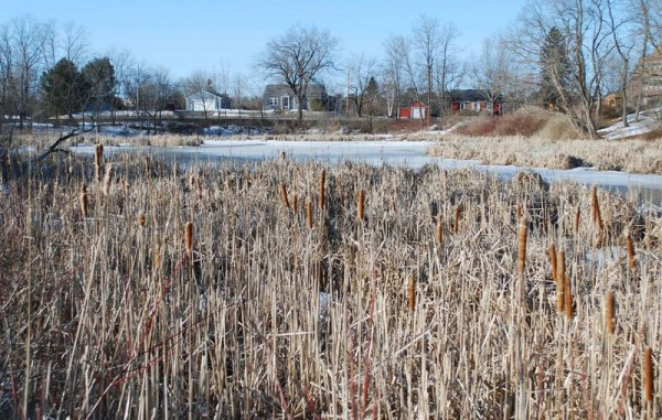 Invasive cattails last week at Capisic Pond have reduced open water to about two acres. A plan to remove most of the growth and replace it with native species was initially approved by the Portland Planning Board on March 25.