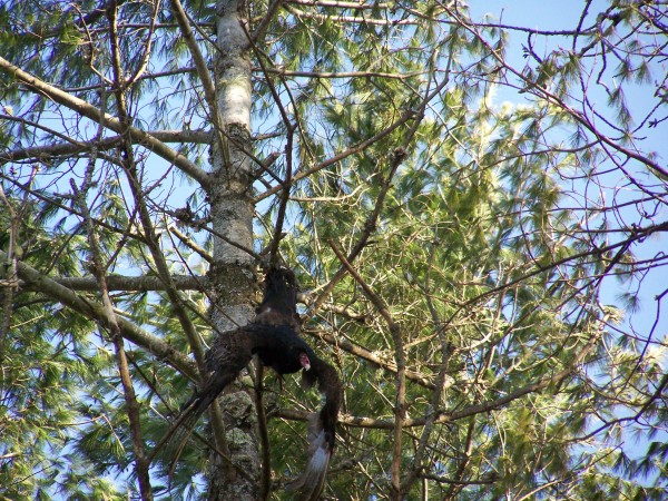 A turkey vulture got stuck in a tree and was hanging by its tail for 28 hours before it freed itself and was taken to Avian Haven to recuperate.