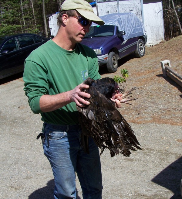 Brent Bibles of Unity College holds a turkey vulture that had gotten itself stuck in a tree and was hanging by its tail for 28 hours.