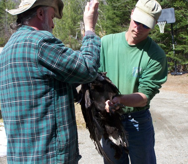 Marc Payne of Avian Haven injects fluids into the mouth of a turkey vulture, while Brent Bibles, a professor at Unity College, holds the bird.