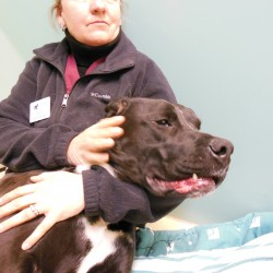 Magnum is one of two dogs abandoned at the Waterville Humane Society last week with their mouths full of porcupine quills.
