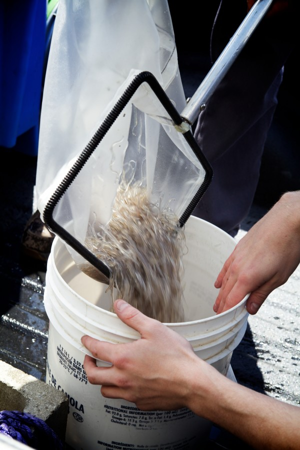 Elvers, or glass eels, go from a tank in the back of a truck, to a bucket, to the Delaware Valley Fish Company processing facility in Portland on Monday. The company buys directly from fishermen and packs the immature eels for transport overseas.