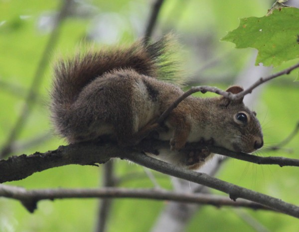 A squirrel clings to a branch while harvesting acorns beside a trail in  Bangor. While squirrels have long been a commonality in rural areas, they were a rare site in cities until the 19th century.