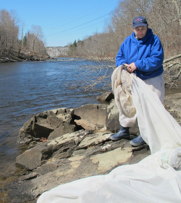 Julie Keene of Trescott sets up a fyke net on the bank of the Union River in downtown Ellsworth on Sunday, the opening day of Maine's elver fishing season. Keene, who has fished for elvers for 21 years, said she has heard that fishermen will get $400 to $500 per pound at the start of the 2014 season, but that's she's not really sure what to expect.