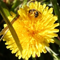 Dandelions important for the garden ecosystem
