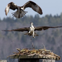 Ospreys at a nest.