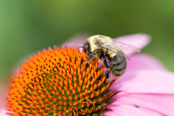 Native bumble bee on purple coneflower