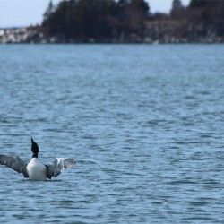 The sea ducks of Isle au Haut, and why harlequin ducks have so many broken bones