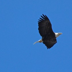 Eagle in downtown Bangor