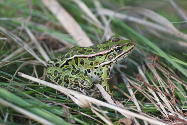 A northern leopard frog hops in the grass by a trail in the Rolland F. Perry City Forest in August 2013 in Bangor.