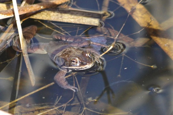 A wood frog swims in a pond in Albion on April 20, 2014. The wood frog, along with the spring peeper, are the first frogs to become active in the spring in Maine.