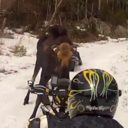 'Oh my God, we are dead meat': NH snowmobilers face off with Maine moose