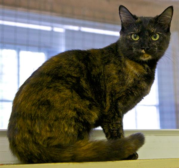 Bree is a beautfiul tortie female cat waiting for adoption at P.A.W.S.