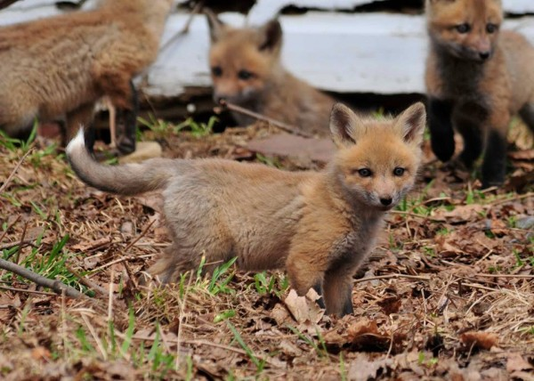 A family of foxes play in Lincoln.
