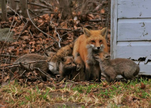 A mama fox and her family enjoy a sunny day in Lincoln this week.