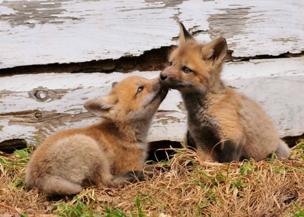 A family of foxes is making life a lot more interesting for residents of Perry Street in Lincoln.