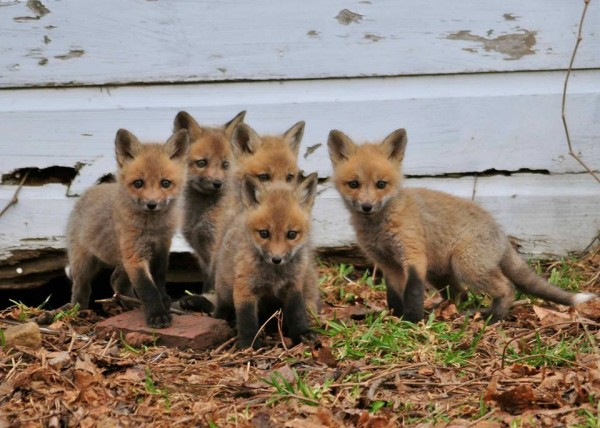 Five young foxes enjoy a sunny day in Lincoln this week.