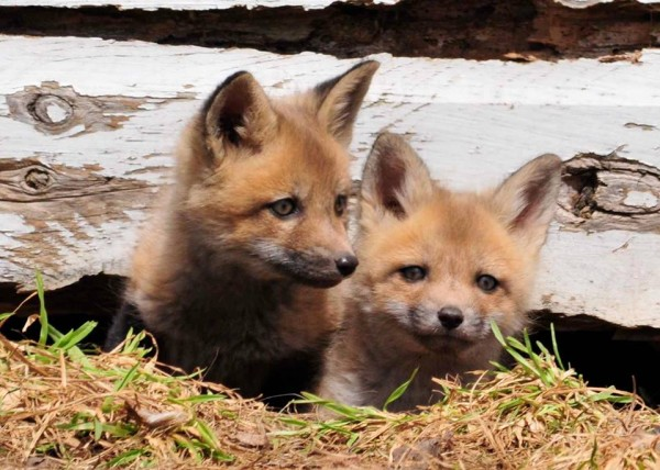 Wildlife photographer Roger Stevens Jr. of Lincoln caught this family of foxes playing under a shed in Lincoln this week.