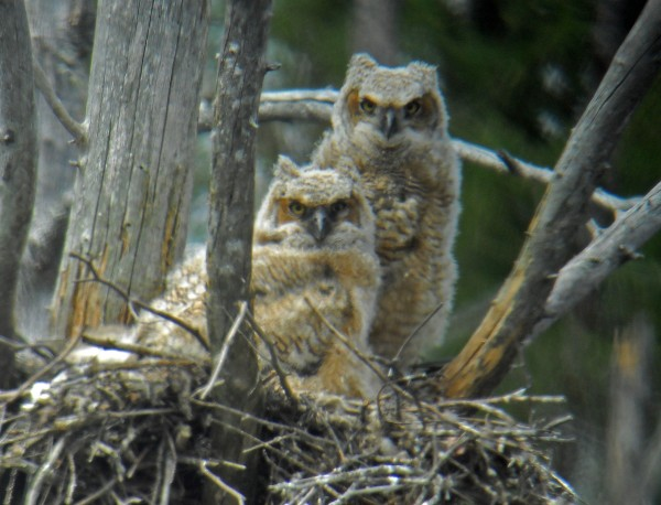Great horned owls can take over great blue heron nests and force a colony of herons to move.