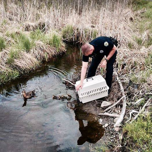 Bangor police Officer David Farrar releases a mother and her eight baby ducks in a pond on Saturday, May 23, 2014, after he picked up the stranded family near the Texas Roadhouse on Stillwater Avenue.