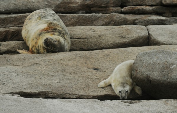 A mother seal and her pup lounge on the rocks of Mount Desert Rock last year.