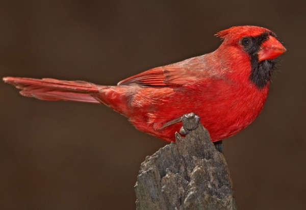 The northern cardinal may be on the wish lists of many of the state's birdathon competitors this year. At the very least, it serves as a fine mascot for one team of perennial participants, The Cardinal Sins.