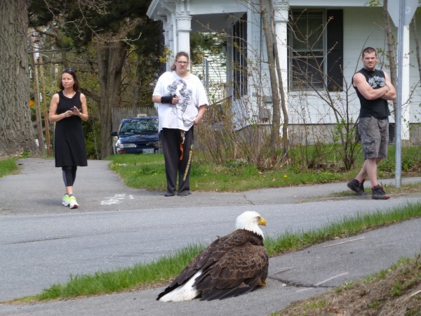 Neighbors watch a bald eagle sitting on sidewalk at the corner of Kenduskeag Avenue and Division Street in Bangor on Sunday morning.