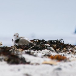Scarborough weighs new beach rules to protect endangered birds from unleashed dogs