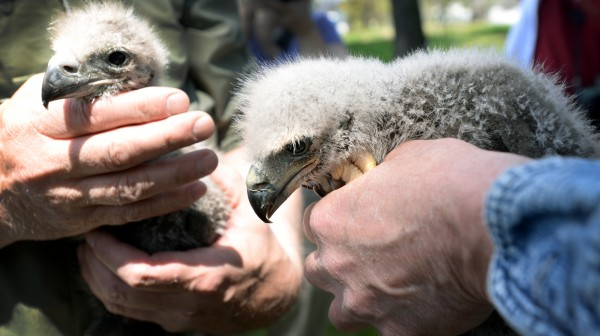 Two baby bald eagles were rescued from their nest high up in a 90-foot white pine tree on Kenduskeag Avenue in Bangor on Monday after their mother fell ill and their father died.