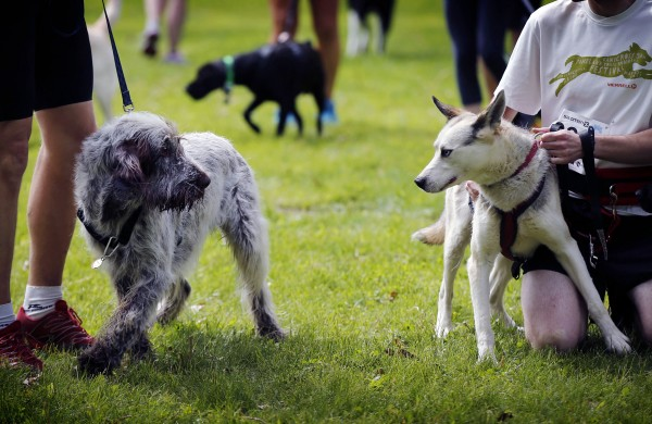 A pair of dog exchange glares prior to the start of the 5K Canicross at Pineland Farms on Saturday in New Gloucester.
