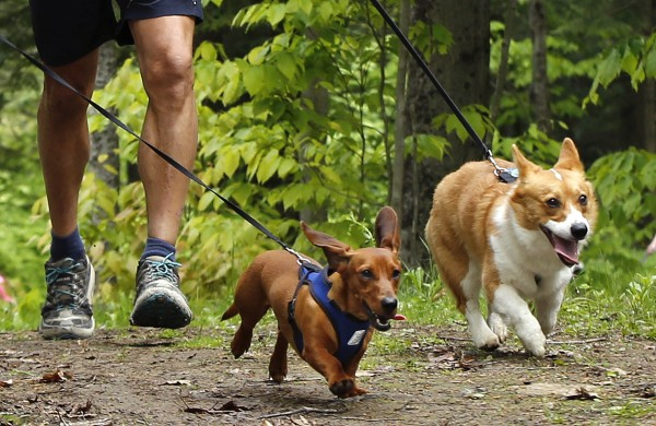 Hawkeye the dachshund and Trapper the corgi run ahead their masters -- Peter Slovinsky of Scarborough and George Alexion of Waterboro -- during the 5K Canicross Race.