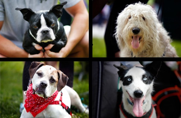 Among the canine competitors were, clockwise from top left, Boston terrier Bodie Mitchell of Yarmouth; sheepdog Sob Lawrence of Waterboro; Alaskan husky Malo Dionne of Madawaska; and Skidder of Auburn.