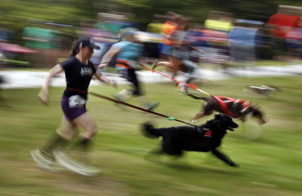 Racers head down a hill at the start of the 5K Canicross at Pineland Farm in New Gloucester on Saturday. In canicross, runners like Jen Bower, foreground, wear elastic leashes attached to a waist belt to minimize shock to both human and dog.