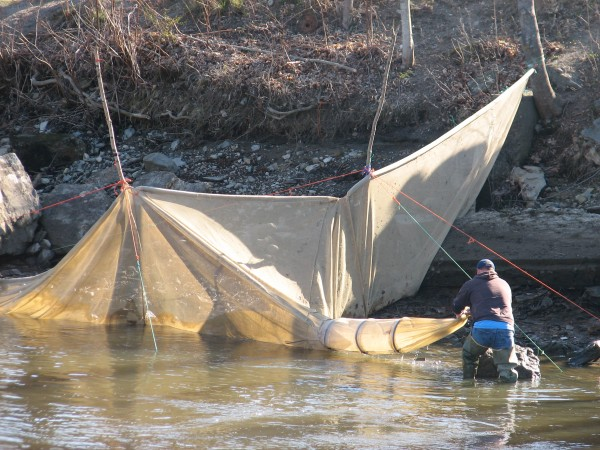 An elver fishermen tends to his fyke net on the shore of the Union River in Ellsworth in this April 2013 file photo.