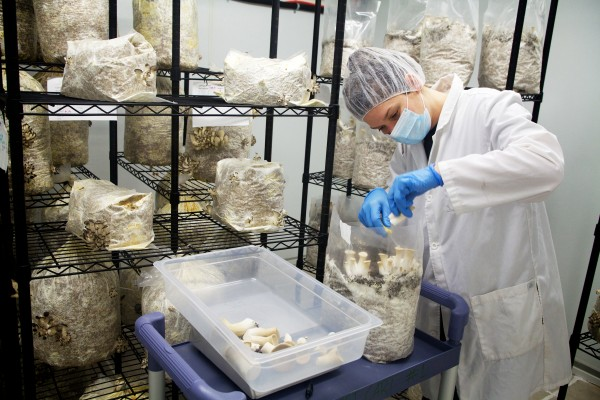 Hannah Nichols, operations manager at Mousam Valley's mushroom-growing operation in Springvale, harvests king oyster mushrooms recently. The high-tech farm grows other fungi, including native Maine species.