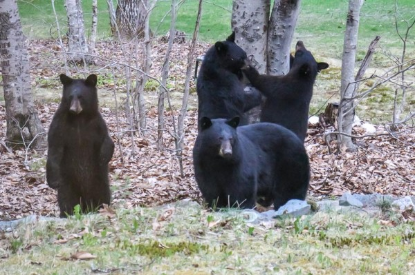 A mother bear and her three yearling cubs try to get to a suet feeder at an Orono home recently. Game wardens reported several calls about bears in the Bangor area on Sunday. Officials remind residents to remove sources of food from their property to avoid contact with bears.