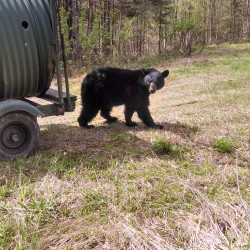 Maine officials warn against feeding bears