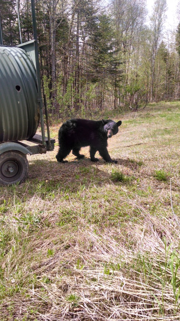 This Maine Black Bear was captured Friday at the Princeton Elementary School by Game Warden Brad Richard. Richard set culvert-style nuisance trap Wednesday evening after the bear visited the school on Tuesday and Wednesday. The animal was released in Aroostook County.