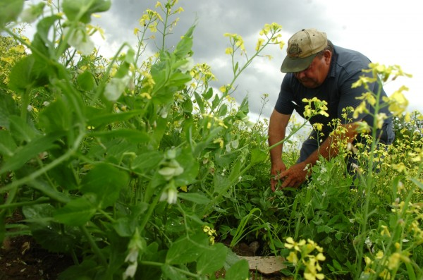 Earl Ireland of Ireland Farms inspects three acres of peas on his Lincoln farm in 2009.