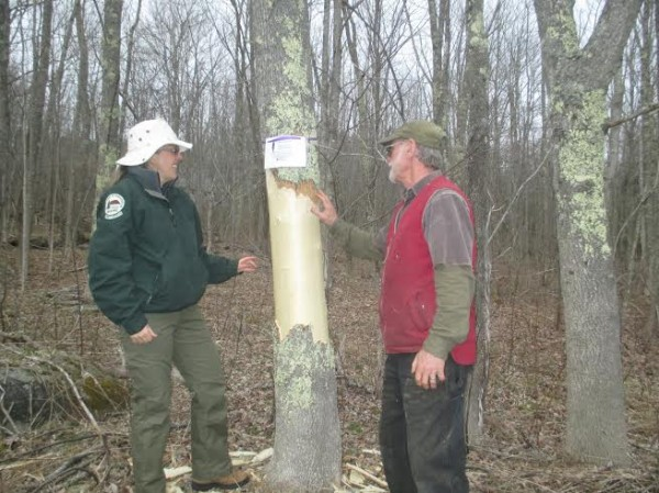 Entomologist Colleen Teerling and local arborist Tony Aman provided an emerald ash borer trap tree demonstration recently on an ash tree on Blue Hill Heritage Trust office's property in Blue Hill.