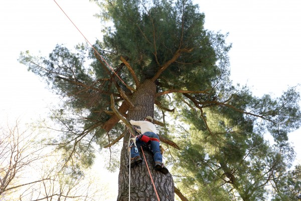 Brent Bibles of Unity College climbs up a 90-foot white pine to rescue two baby bald eagles whose mother fell ill and father died.